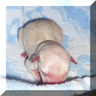 chihuahua leidet unter luft im bauchraum